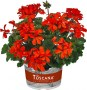 Pelargonium Toscana Specials Collection Stadt Bern